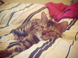 Small Life, Slow Life: That Time We Got a Bow-Legged Bengal Cat and Named Him Rolo.